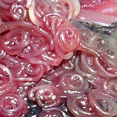 Il Pericolo Alimentare Anisakis